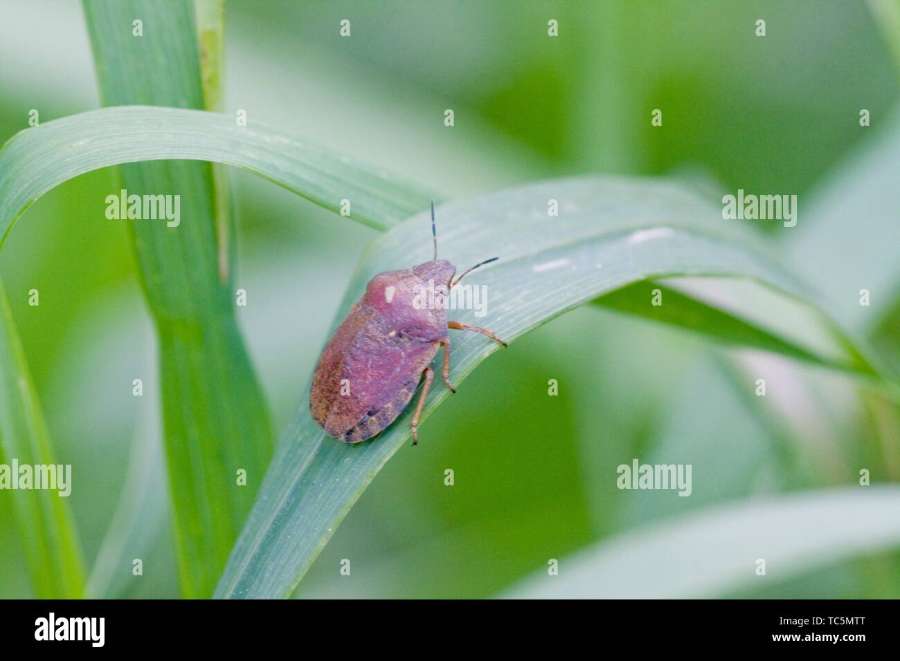 Tortoise Shieldbug Eurygaster testudinaria. Feeds on Poaceae.Economically significant crop pest that affects wheat and barley crops and can lower - Stock Image