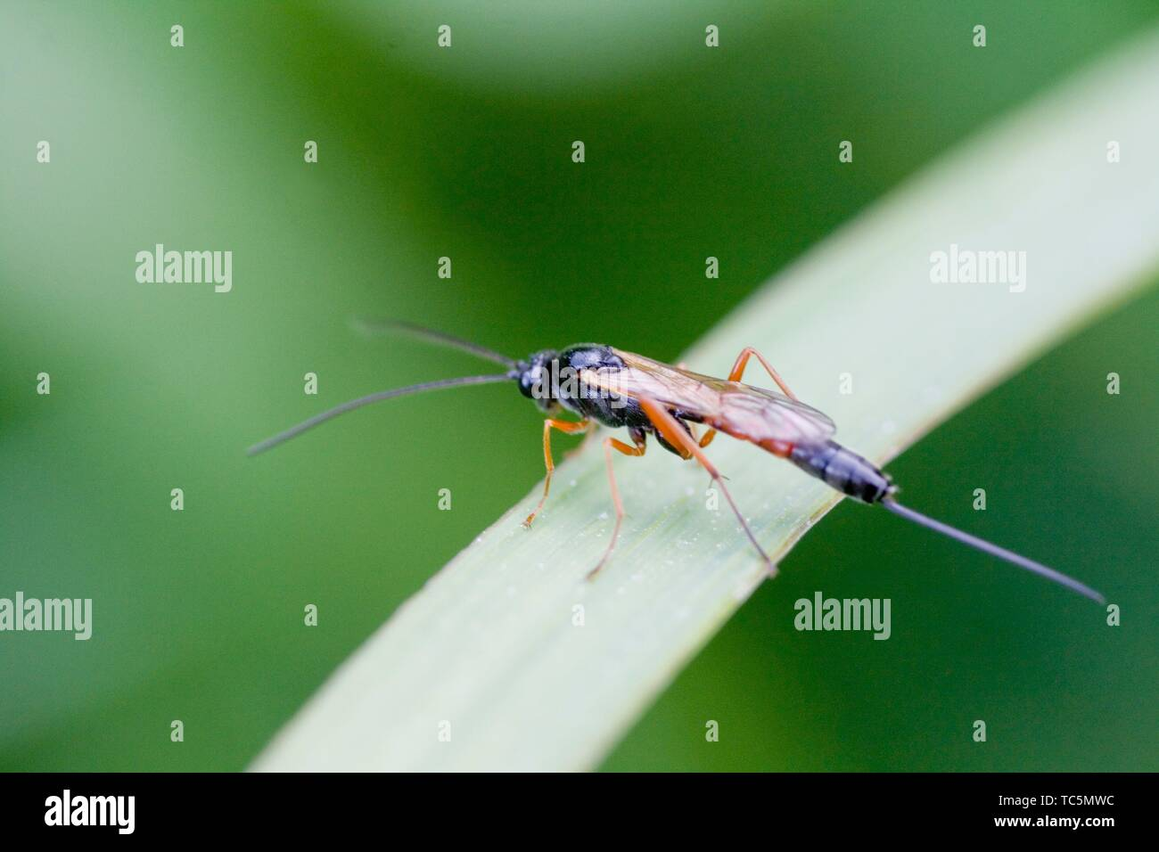 Parasitoid wasp, Ichneumon sp. Black wasp with red wings and legs and extremely long ovipositor. Significant parasitoids of othe invertebrates, - Stock Image