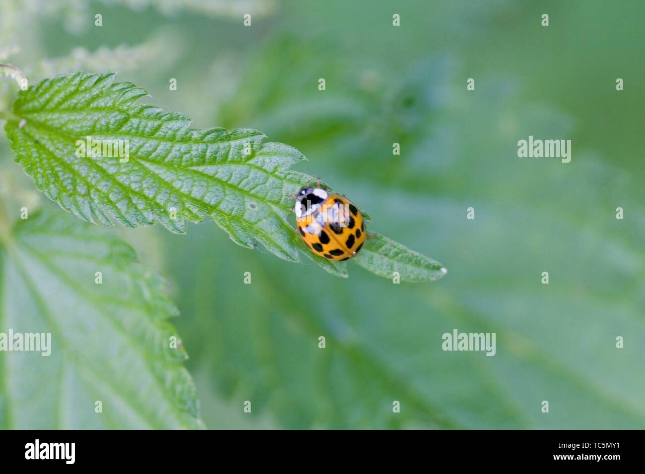 Harlequin Ladybird pupae, Harmonia axyridis, large ladybird which have multiple colora variations with dots 0-22. Most common form is red or orange Stock Photo