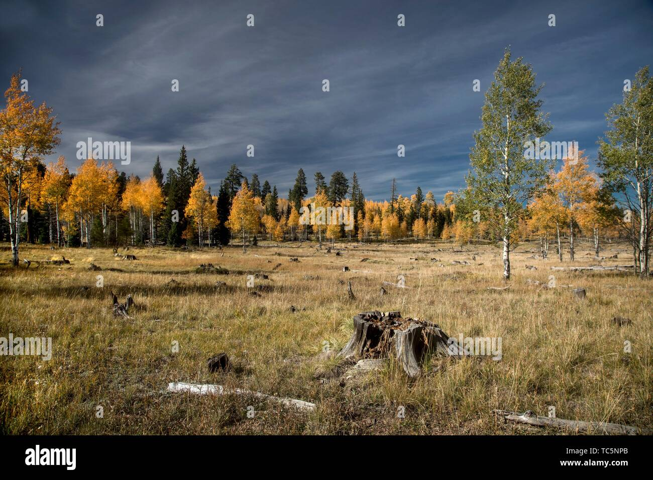 Fall colors have arrived to the Kaibab National Forest in Northern Arizona. - Stock Image
