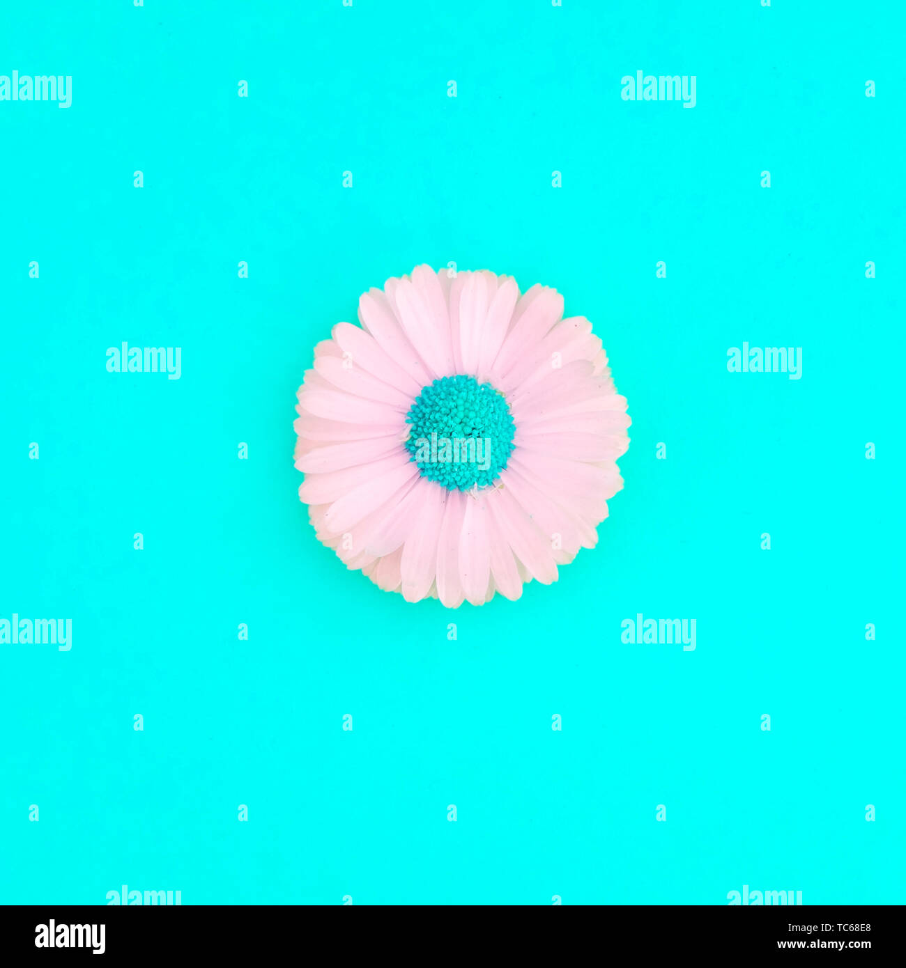 Spring And Summer Flower Isolated Flat Lay Daisy In Bloom