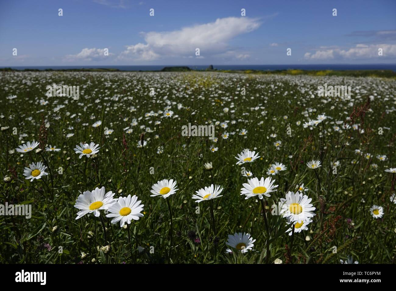 Gower, Swansea, Wales, UK. 6th June 2019. Weather: Dog daisies lap up the sunshine at National Trust Rhosili (correct,1's') on the Gower peninsula, south Wales. An ancient strip farming area known as The Vile is planted with fields of flowers to encourage bees and enhance the biodiversity. The forecast is for wetter weather  tomorrow.  Credit: Gareth Llewelyn/Alamy Live News Stock Photo