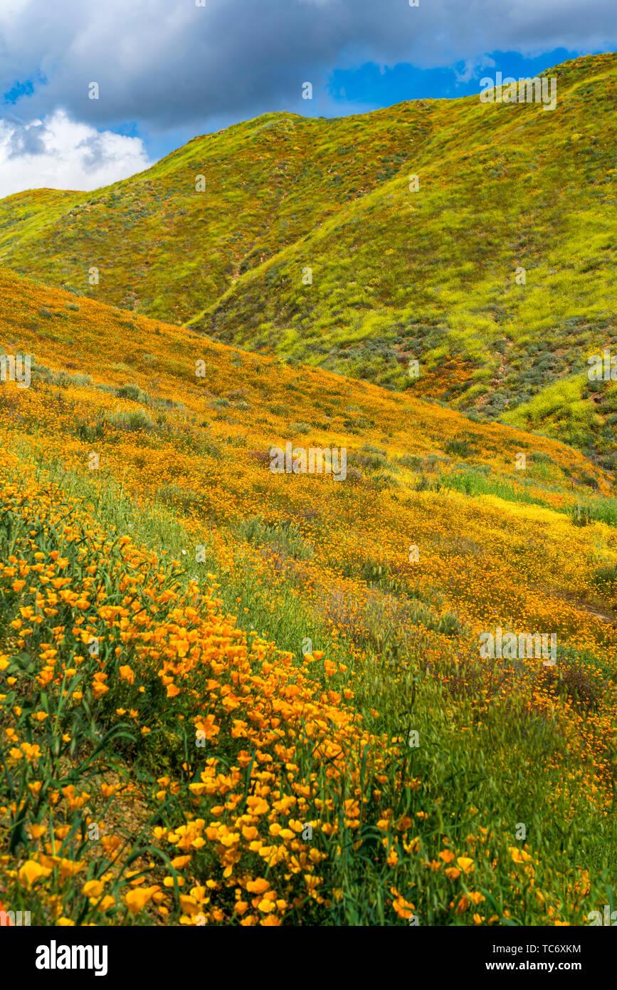 California Poppies in Walker Canyon, Lake Elsinore, Superbloom of 2019, Riverside, California, USA. - Stock Image