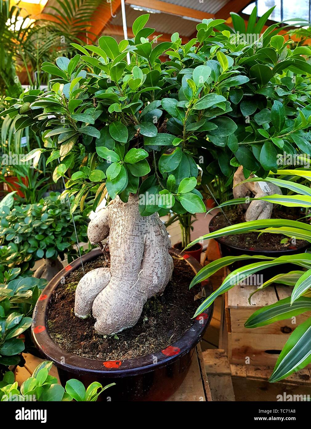 Ficus Ginseng Bonsai Tree Ficus Retusa In A Garden Center Ginseng Ficus Bonsai Trees Are Very Hardy And Easy To Take Care Of Many Beginning Stock Photo Alamy