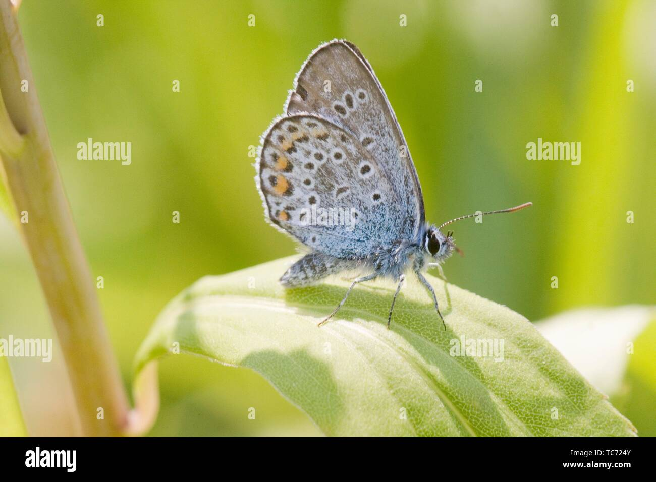 Chapman's Blue, Polyommatus thersites. Similar to P icarus except that there is no underspot on front wing. Butterfly inhabits nutrient poor - Stock Image