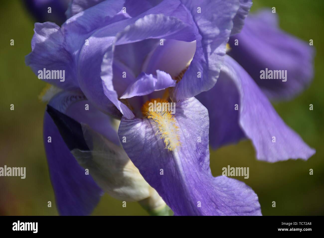 Schwertlilie, Orjen, Orjen-Schwertlilie, violett, Blume, Lilie, blühen, Sommer, Samen, Spargel, Spargelartige, Bedecktsamer, Blüte, Blütenstand, Veilc - Stock Image