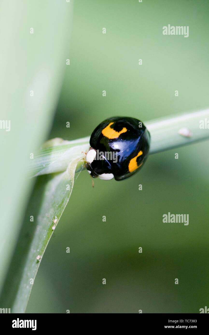 Melanic Harlequin Ladybird, Harmonia axyridis, large ladybird which have multiple colora variations with dots 0-22. Most common form is red or orange - Stock Image