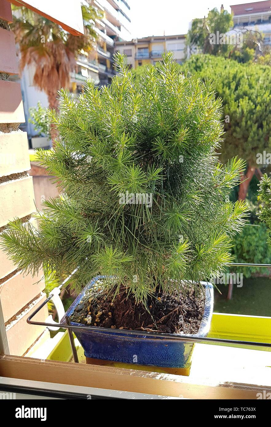 Pinus halepensis (Aleppo Pine). The Aleppo Pine is native to the Mediterranean region, growing from sea level to about 200 meter. It is closely - Stock Image