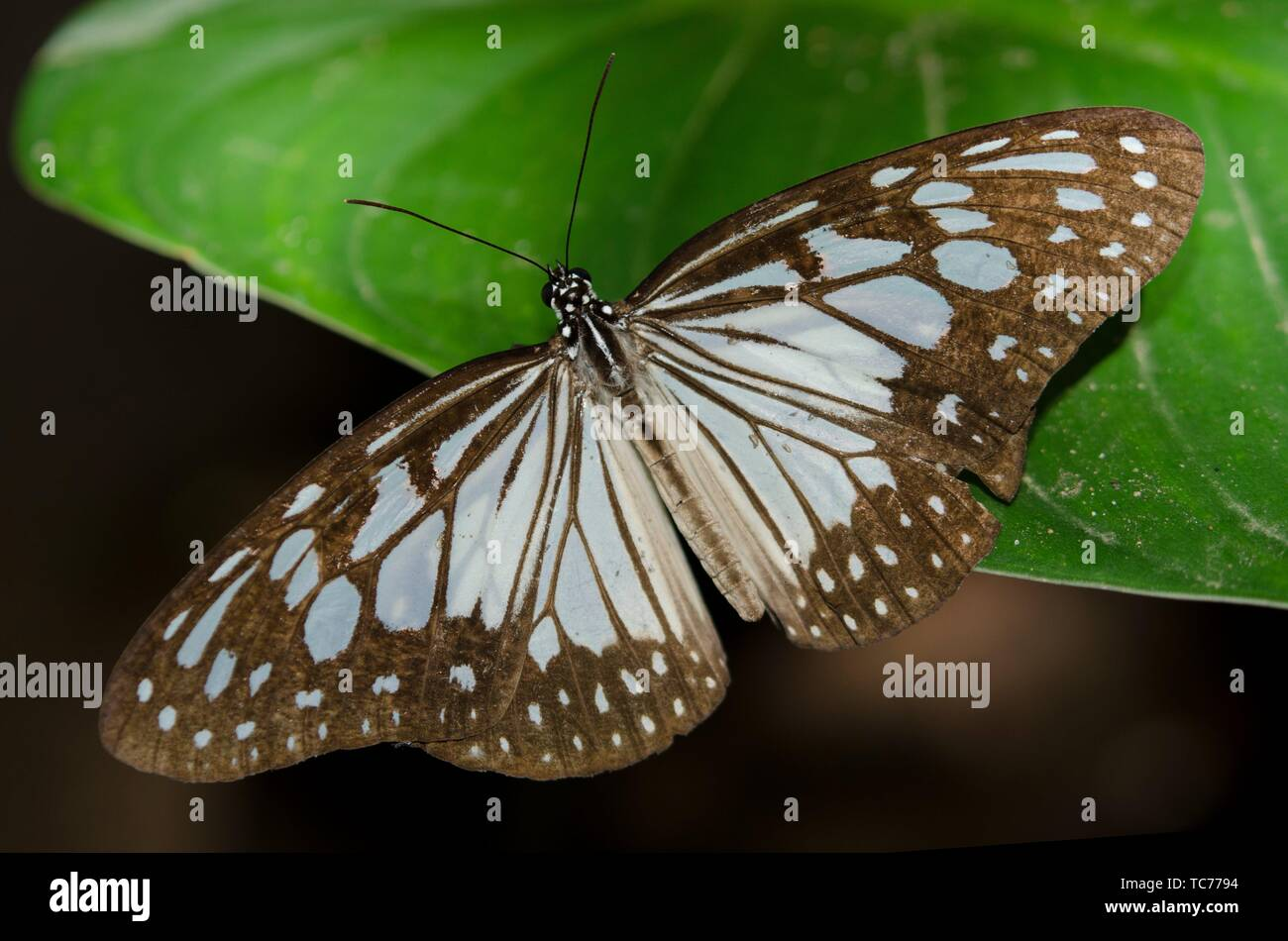 Glassy Tiger Butterfly (Parantica aglea, Nymphalidae Family) on leaf, Klungkung, Bali, Indonesia. - Stock Image