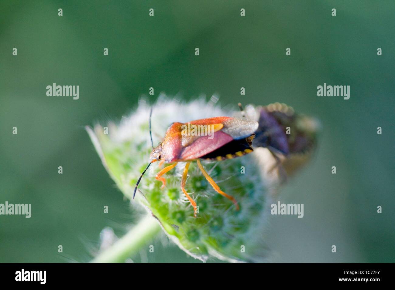 Rice Pest High Resolution Stock Photography And Images Alamy