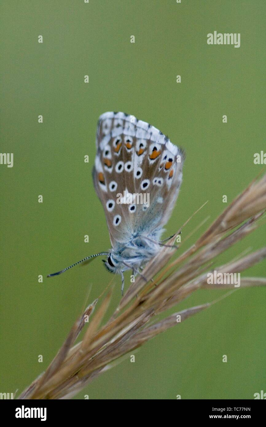 Chalk Hill Blue, Polyommtus coridon. Vlue butterfly with datin baby blue upperwings. Colonuizes in calcareous grasslands to about 2100m. Larval - Stock Image