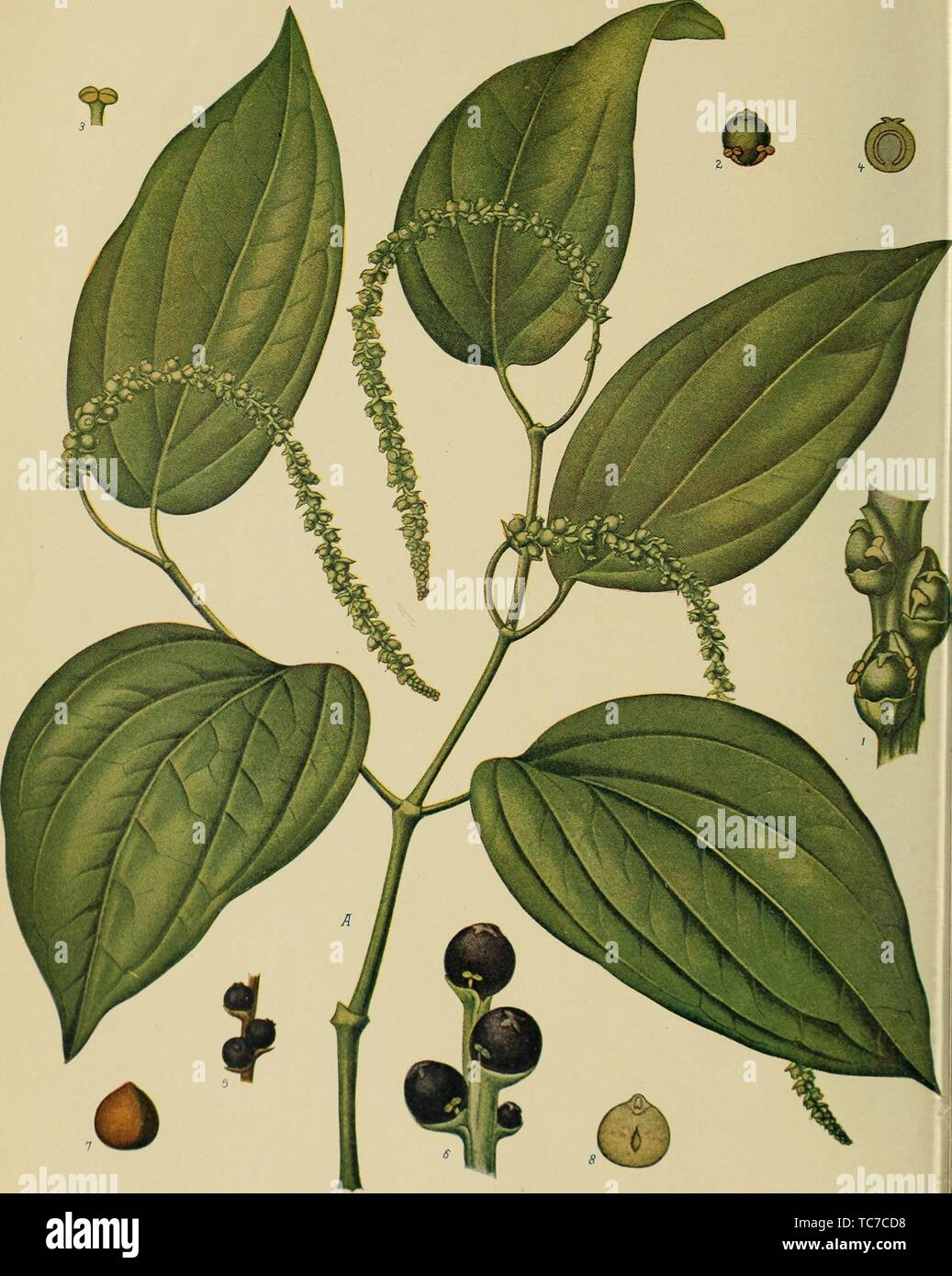 Engraved drawing of the Black Pepper (Piper nigrum), from the book 'Birds and nature' by A. W, 1900. Mumford. Courtesy Internet Archive. () - Stock Image