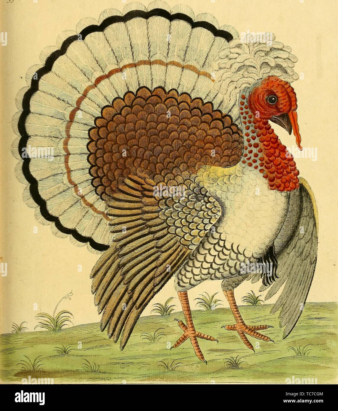 Engraved drawing of Crested Turkey, from the book 'A natural history of birds' by Eleazar Albin, 1731. Courtesy Internet Archive. () - Stock Image