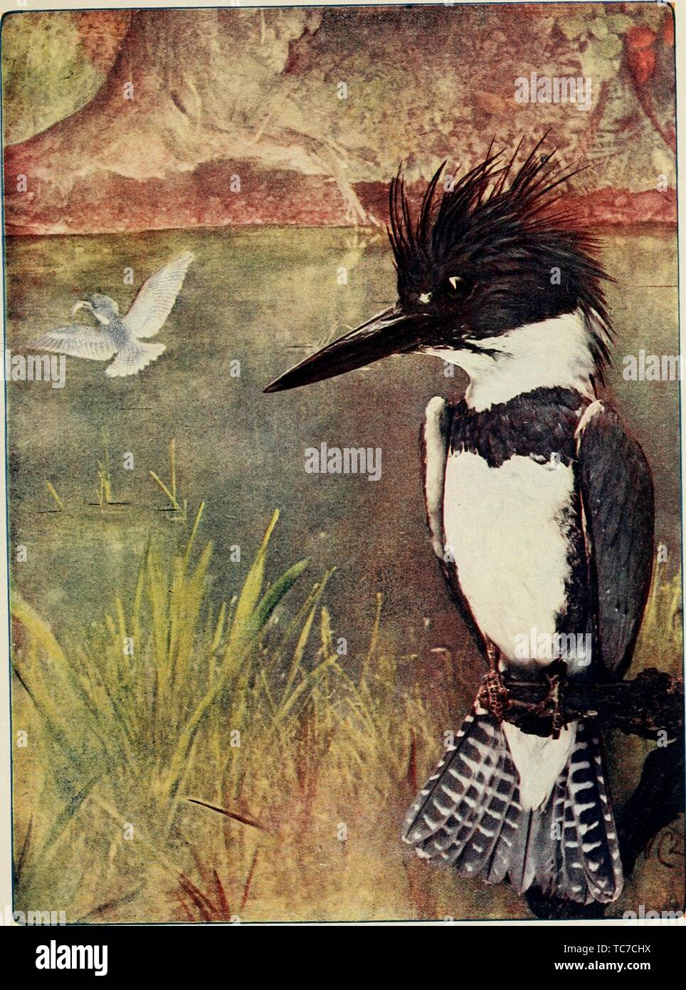 Engraved drawing of the Belted Kingfisher (Megaceryle alcyon), from the book 'Bird neighbors' by Neltje Blanchan, 1904. Courtesy Internet Archive. () - Stock Image