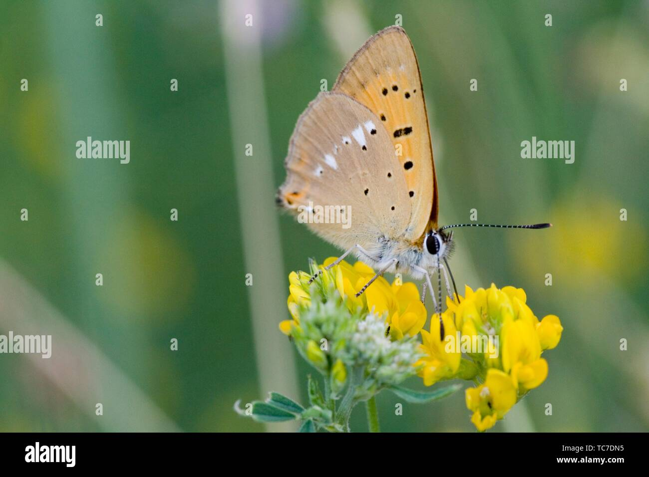 Scarce Copper, Lycaena virgaureae, a showy copper butterfly with white markings on the back underwing, The upperwings can be fiery copper in Stock Photo