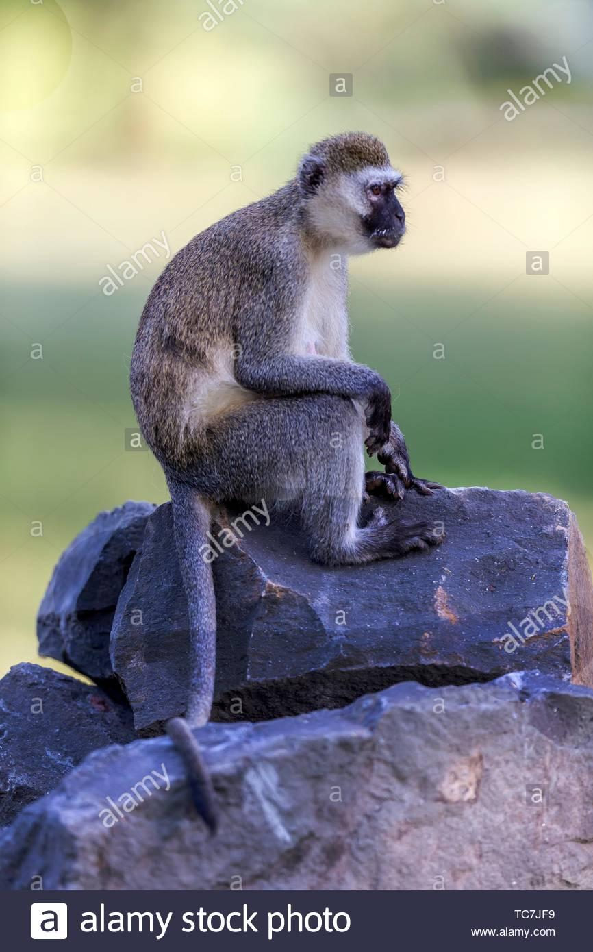 Vervet monkey sitting on stones in Great Rift Valley, Kenya. Stock Photo