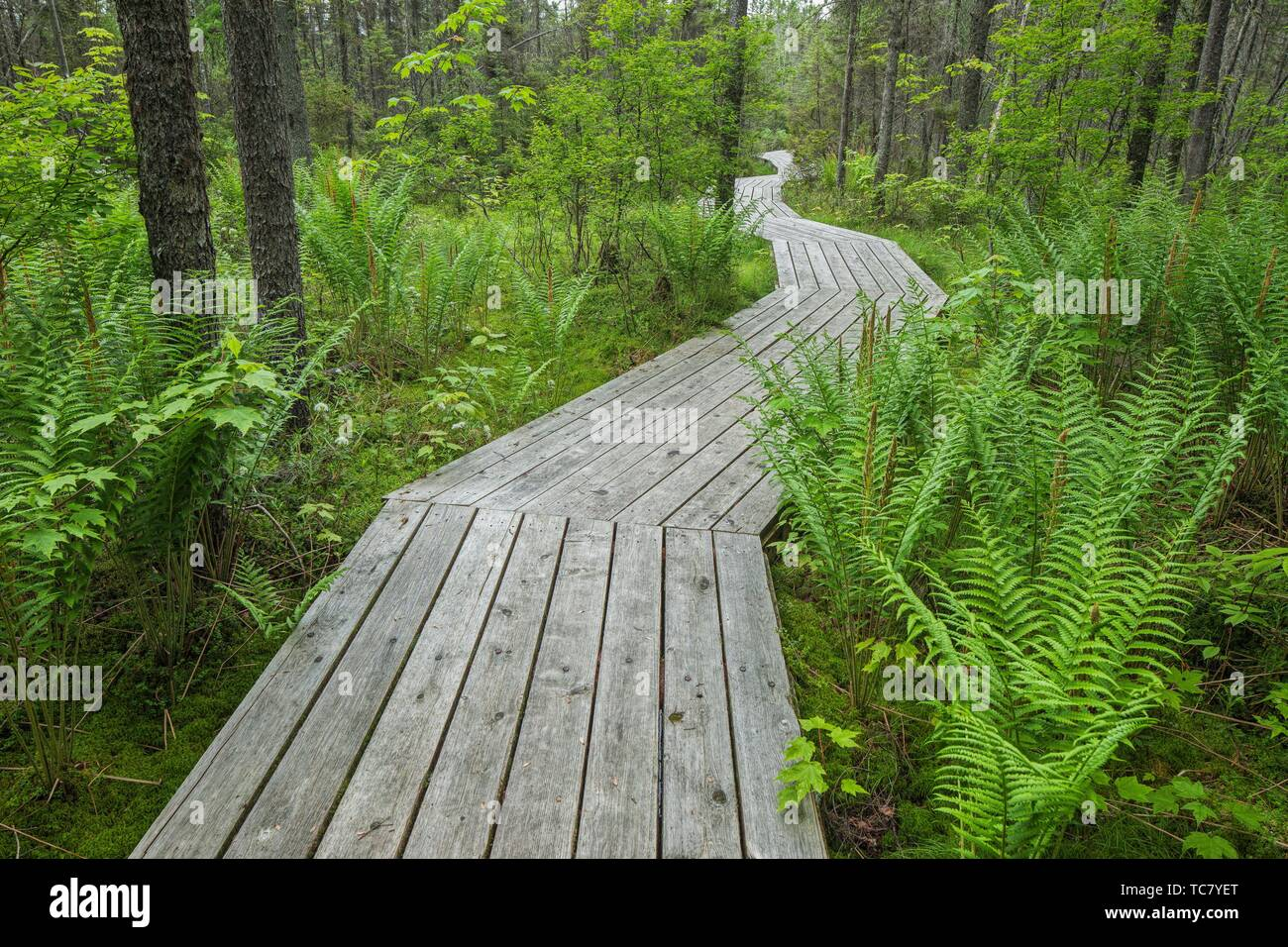 Wooden boardwalk crossing conifer forest with ferns, Johnville Bog and Forest Park; Québec; Canada. - Stock Image