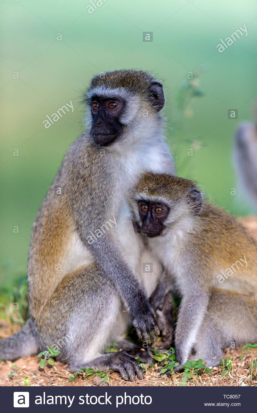 Vervet mother with youngster in Great Rift Valley, Kenya Stock Photo
