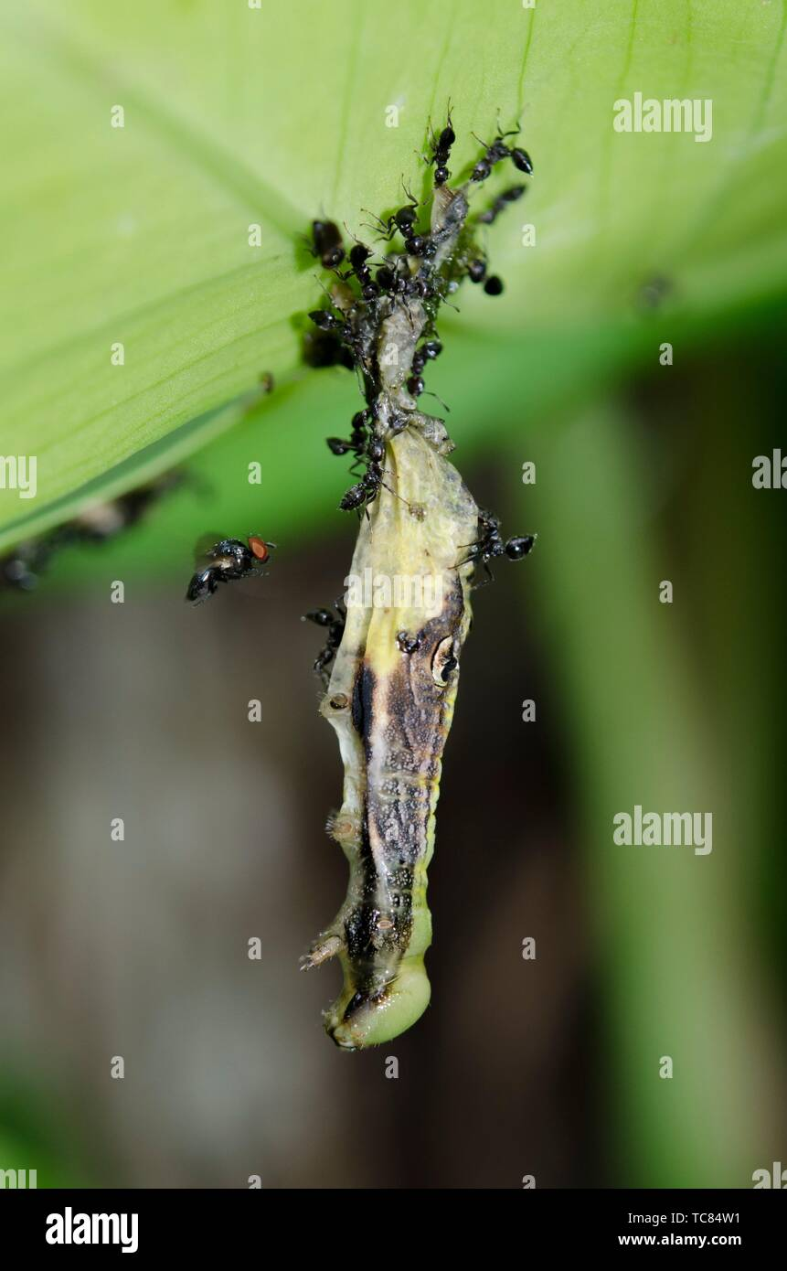 Caterpillar (Lepidoptera Order) hanging from leaf and infected with Nuclear Polyhedrosis Virus (NPV) with scavenging Ants (Crematogaster sp, - Stock Image