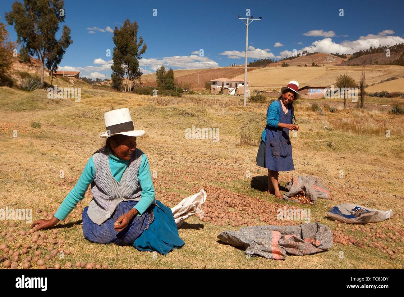 Indigenous women of Sacred Valley with bowler hats picking and squashing potatoes with their feet, Cusco Region, Peru, South America - Stock Image