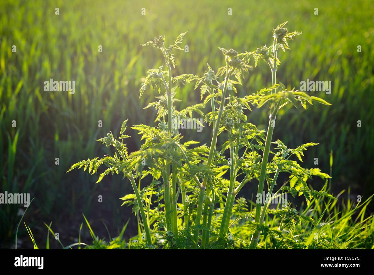 Wild chervil (Anthriscus sylvestris), Eure-et-Loir department, Centre-Val de Loire region, France, Europe. - Stock Image