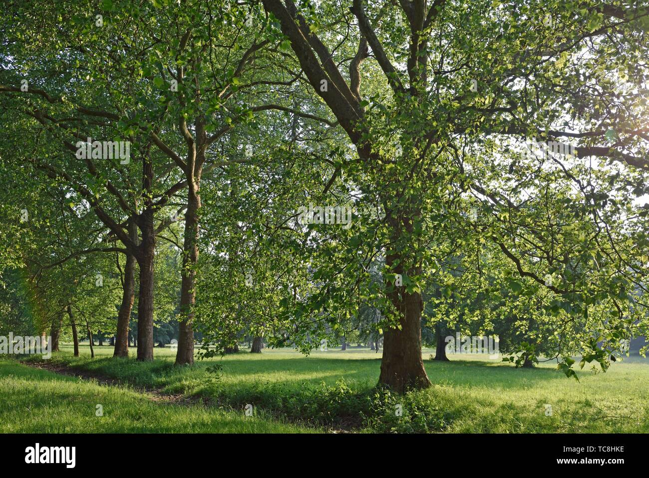 horse-chestnut or conker tree s (Aesculus hippocastanum) in the Park of the Chateau of Rambouillet, Forest of Rambouillet, Haute Vallee de Chevreuse - Stock Image