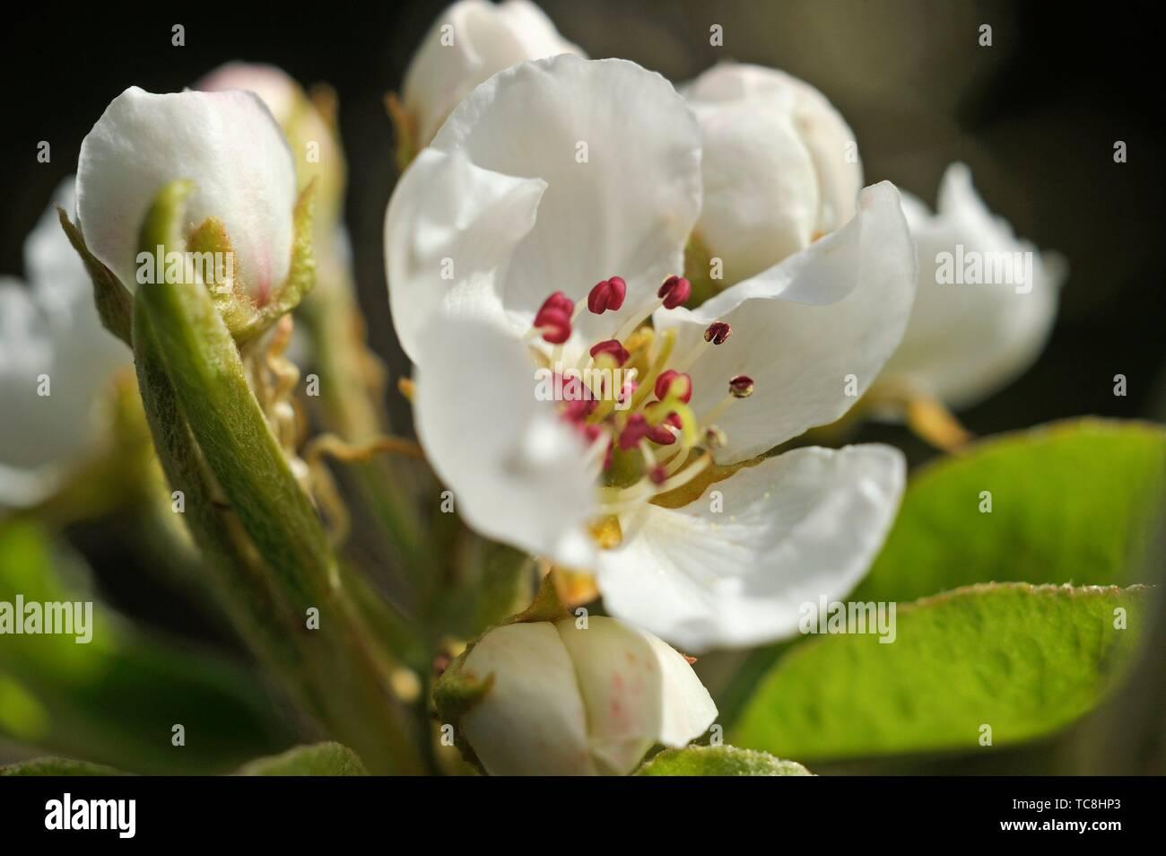 Pear tree in flower (Pyrus communis), Eure-et-Loir department, Centre-Val de Loire region, France, Europe. - Stock Image