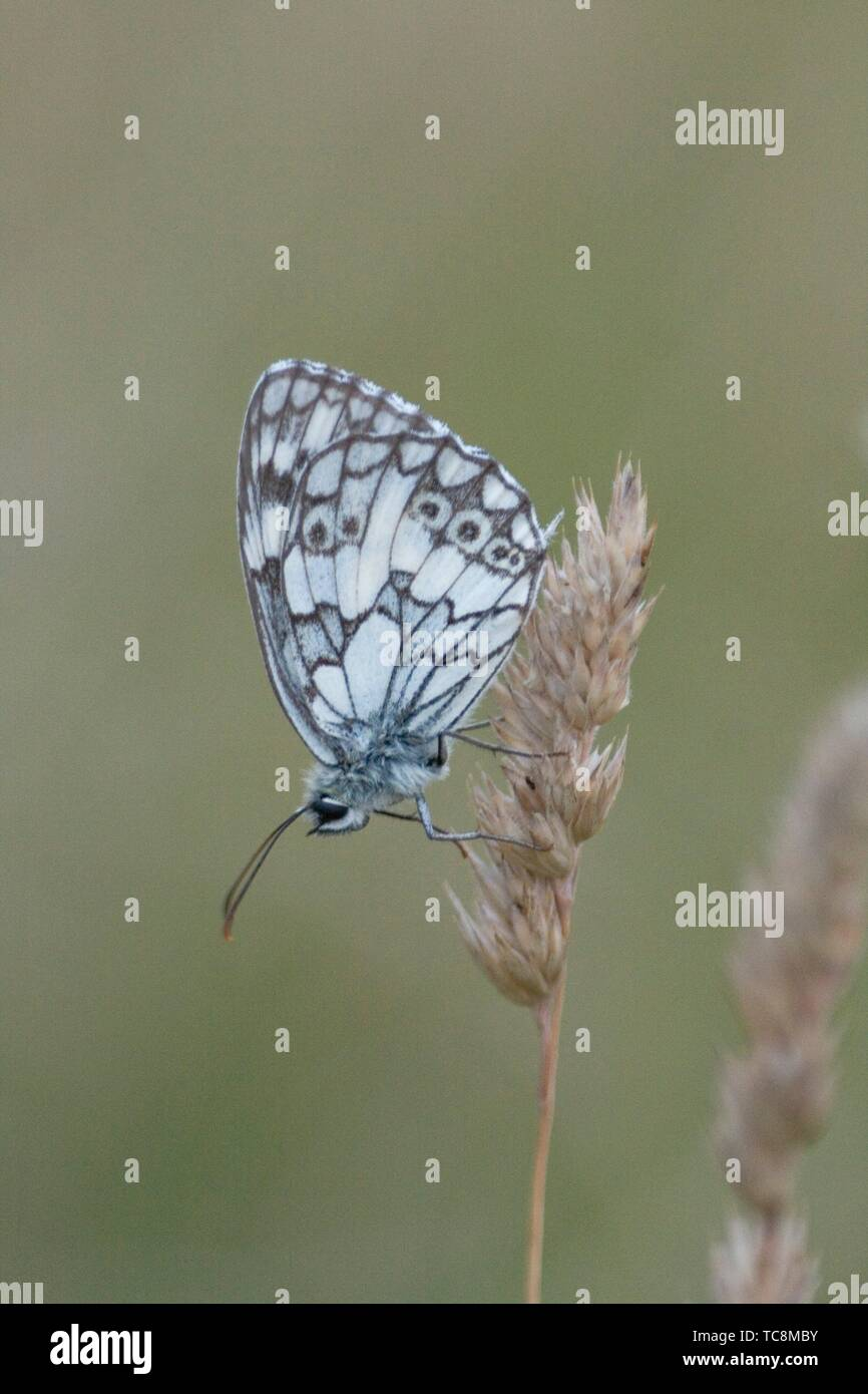 "Marbled White, Melanargia galathea. Distinct white butterfly with black marbled markings. Wingspan: 46â. ""56mm. Found in tall grassland, forest - Stock Image"