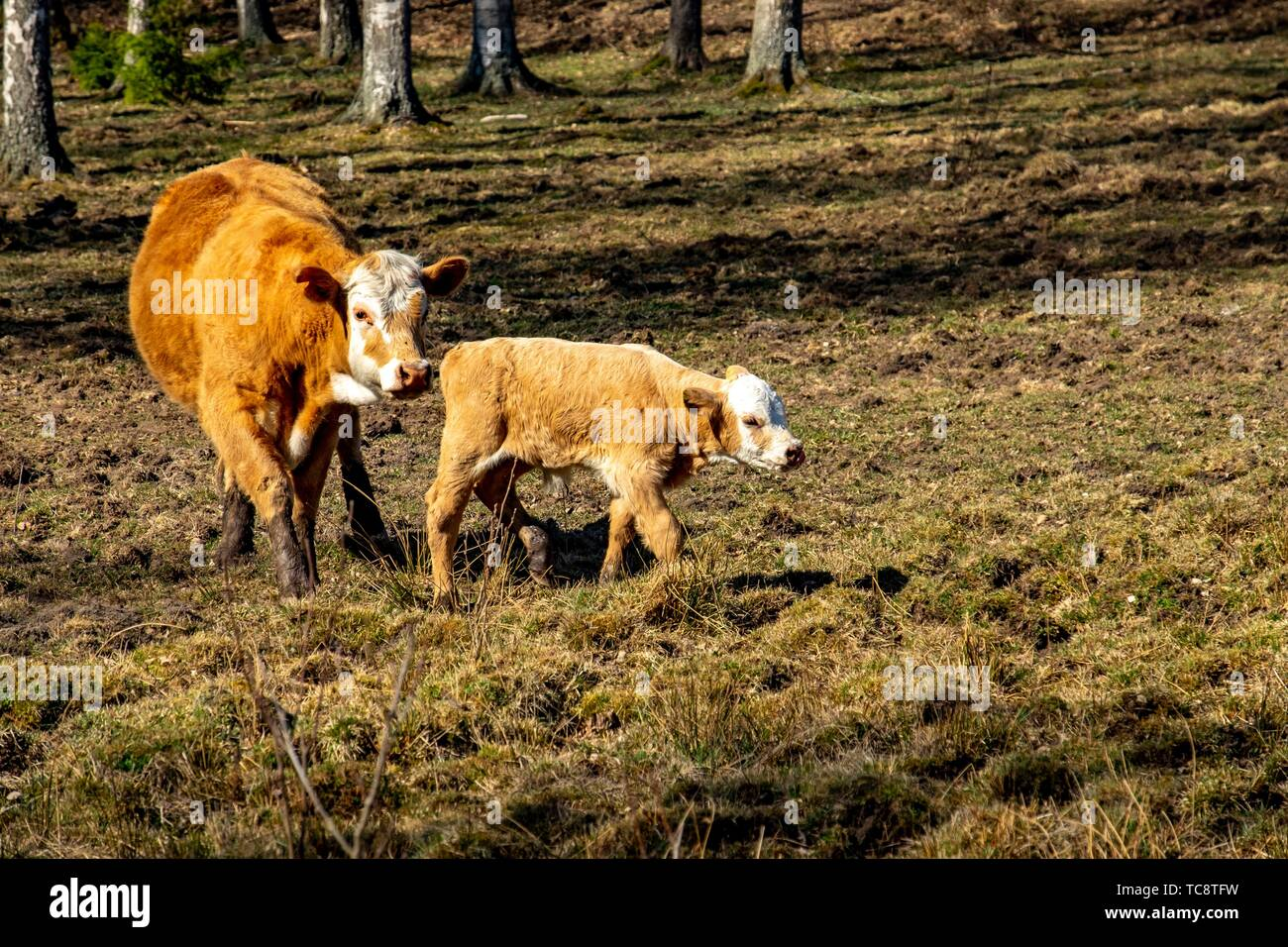 Calfs on a grazing field in Sweden. - Stock Image