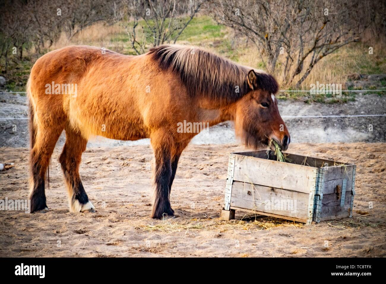 Horse eating hay in Sweden. - Stock Image