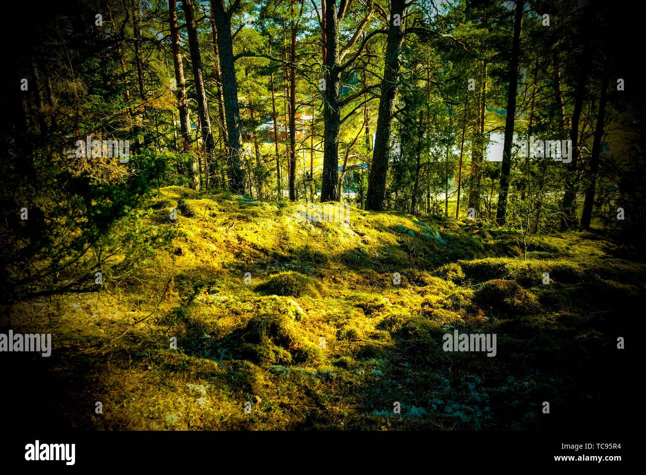 Forests of Sweden. - Stock Image