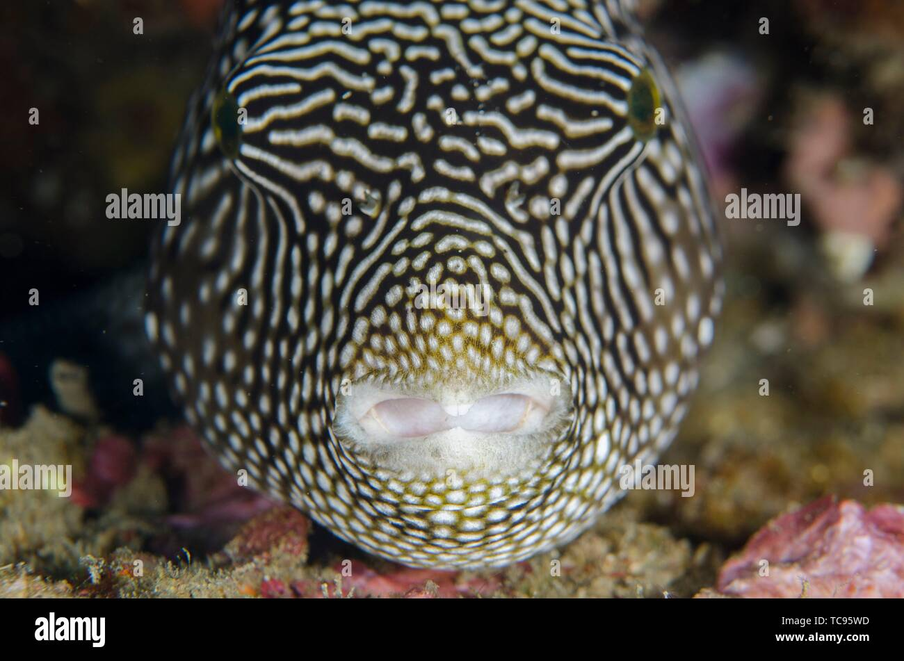 Amed Indonesia Map Map Puffer (Arothron mappa), Jemeluk Bay dive site, Amed, Bali