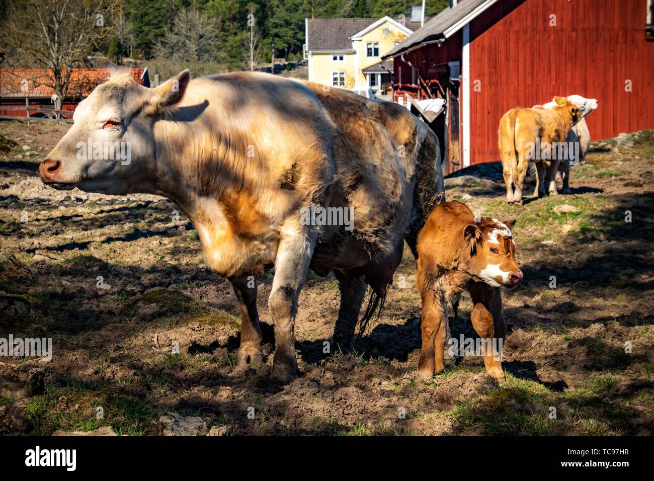 Newborn calf with mother cow on a grazing field in Sweden. - Stock Image