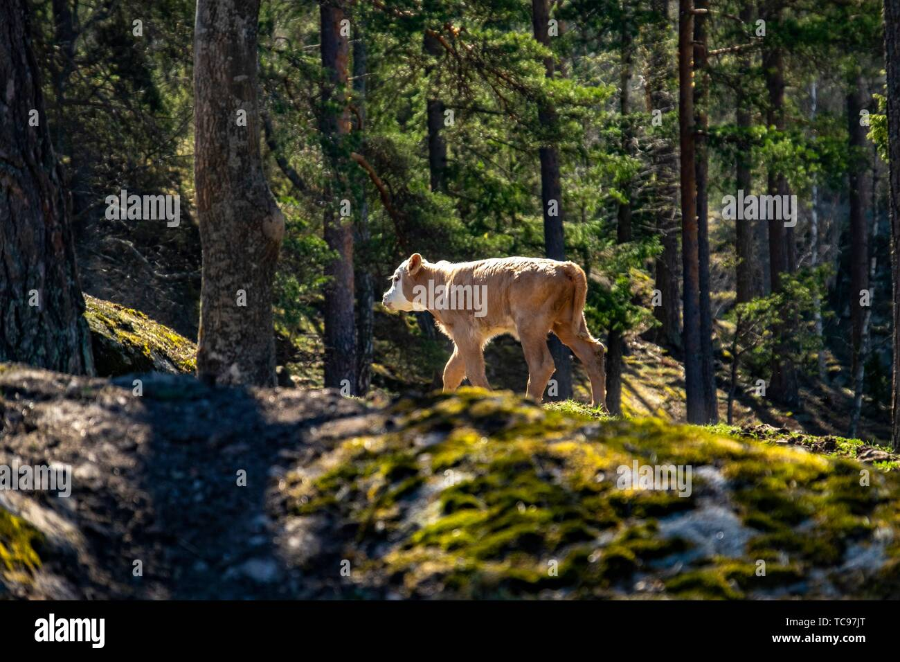 Newborn calf exploring the forest in Sweden. - Stock Image