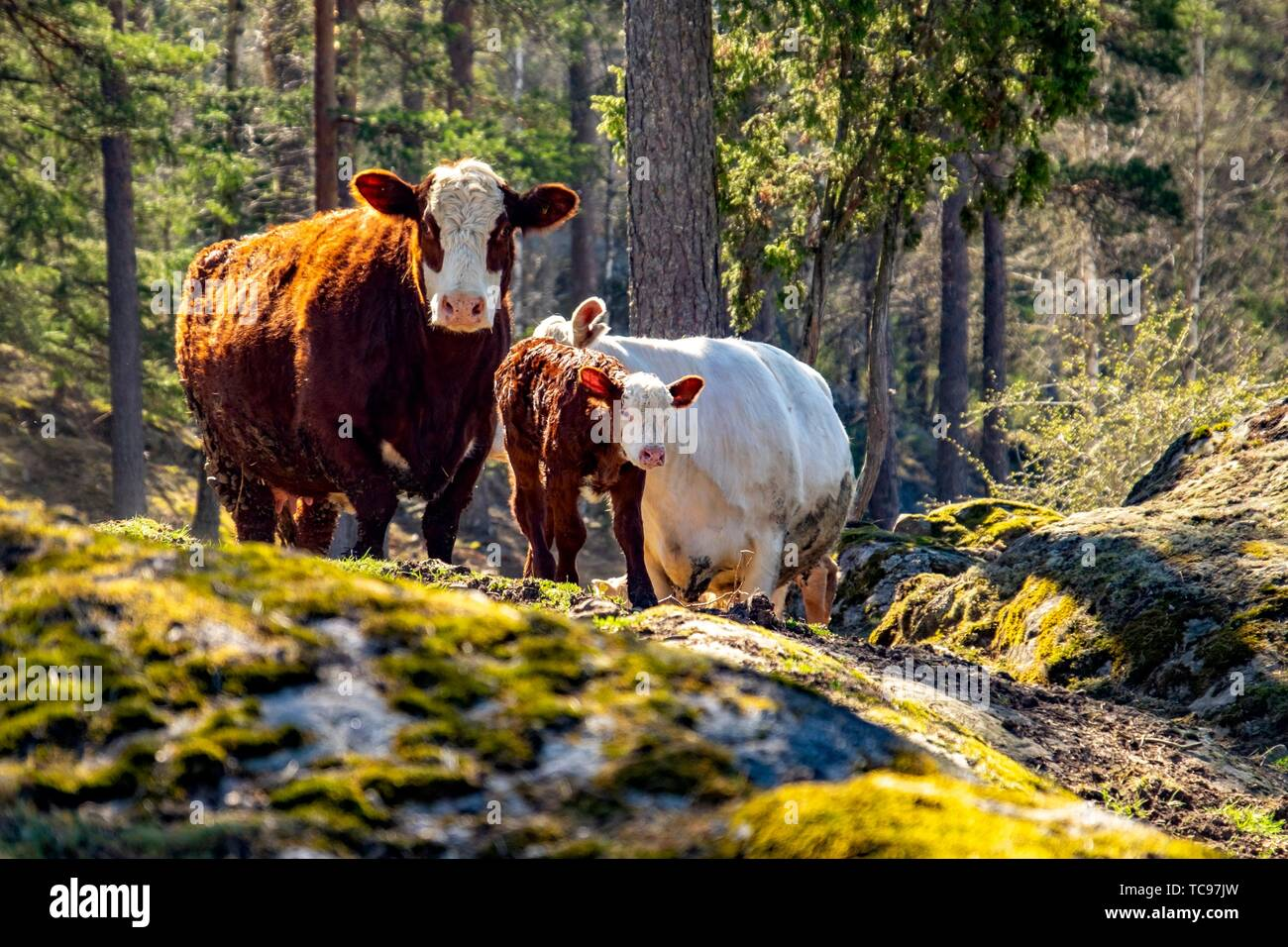 Newborn calfs with mother cows in a Swedish forest. - Stock Image