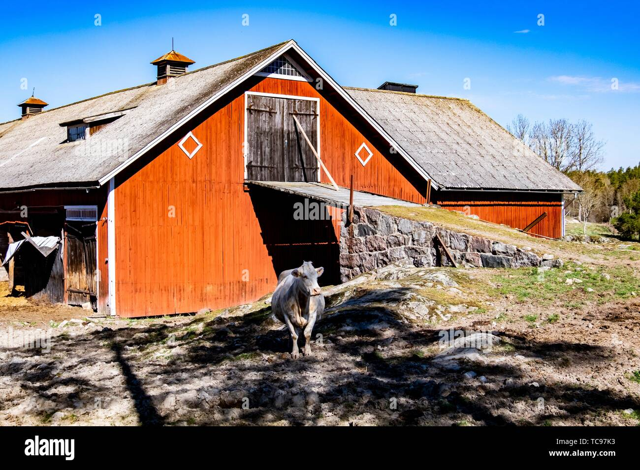 Cow in front of a typical Swedish barn, Sweden. - Stock Image