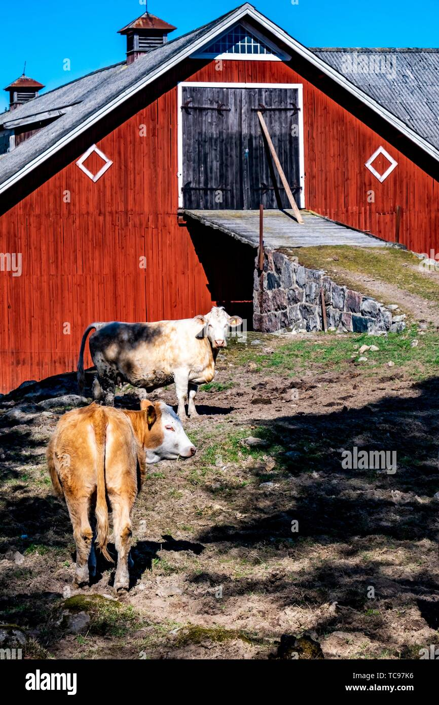 Cows in front of a typical Swedish barn, Sweden. - Stock Image