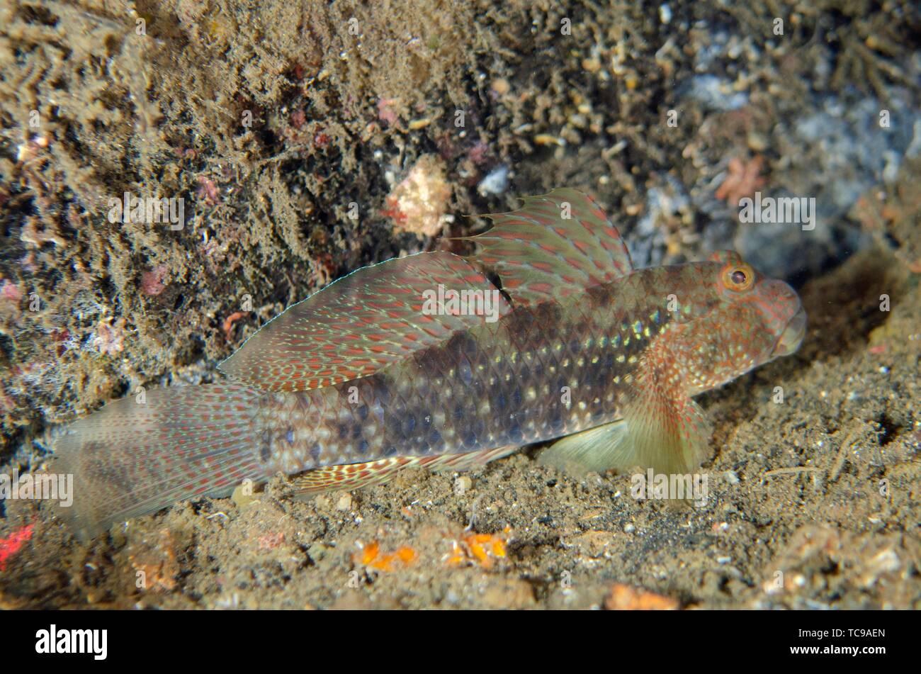 Beautiful Goby (Exyrias bellismus), Banda Neira Jetty dive site, Ambon, Maluku (Moluccas), Indonesia. - Stock Image