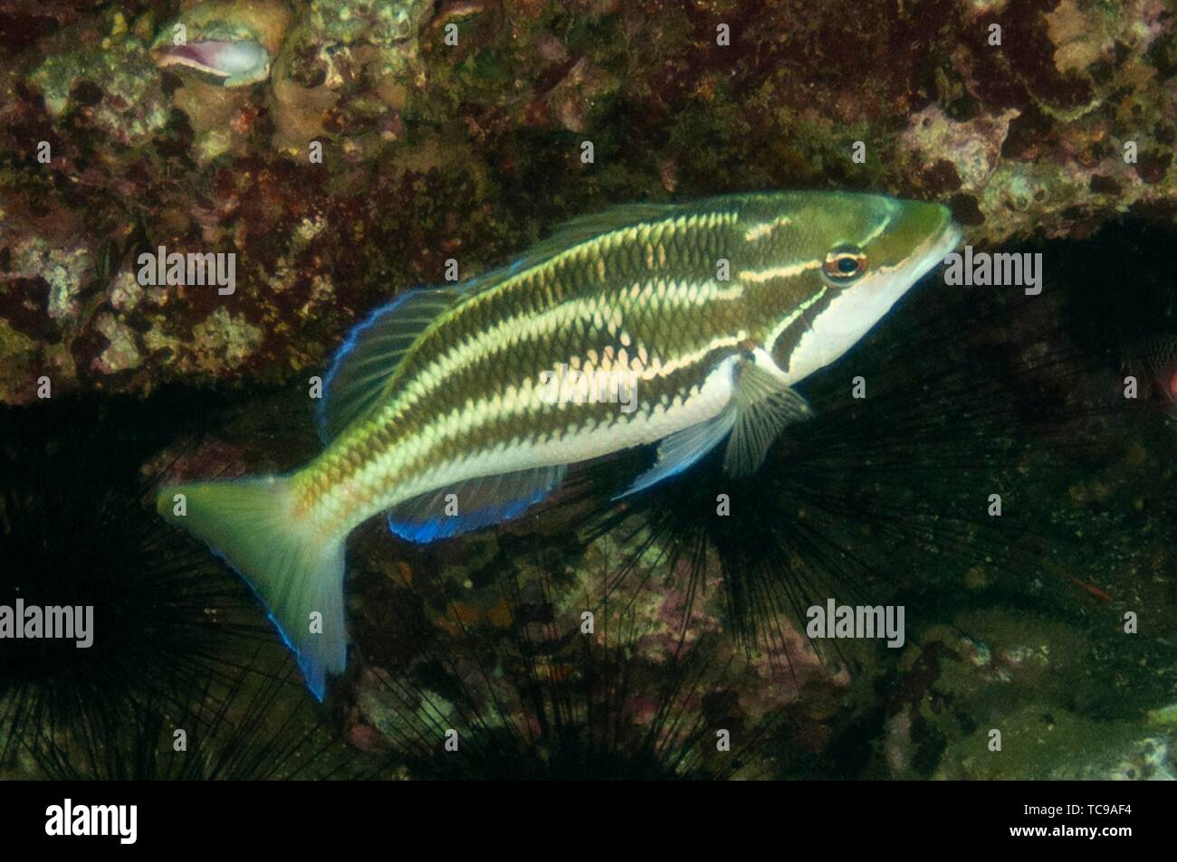 Three-striped Whiptail (Pentapodus trivittatus), Banda Neira Jetty dive site, Ambon, Maluku (Moluccas), Indonesia. - Stock Image