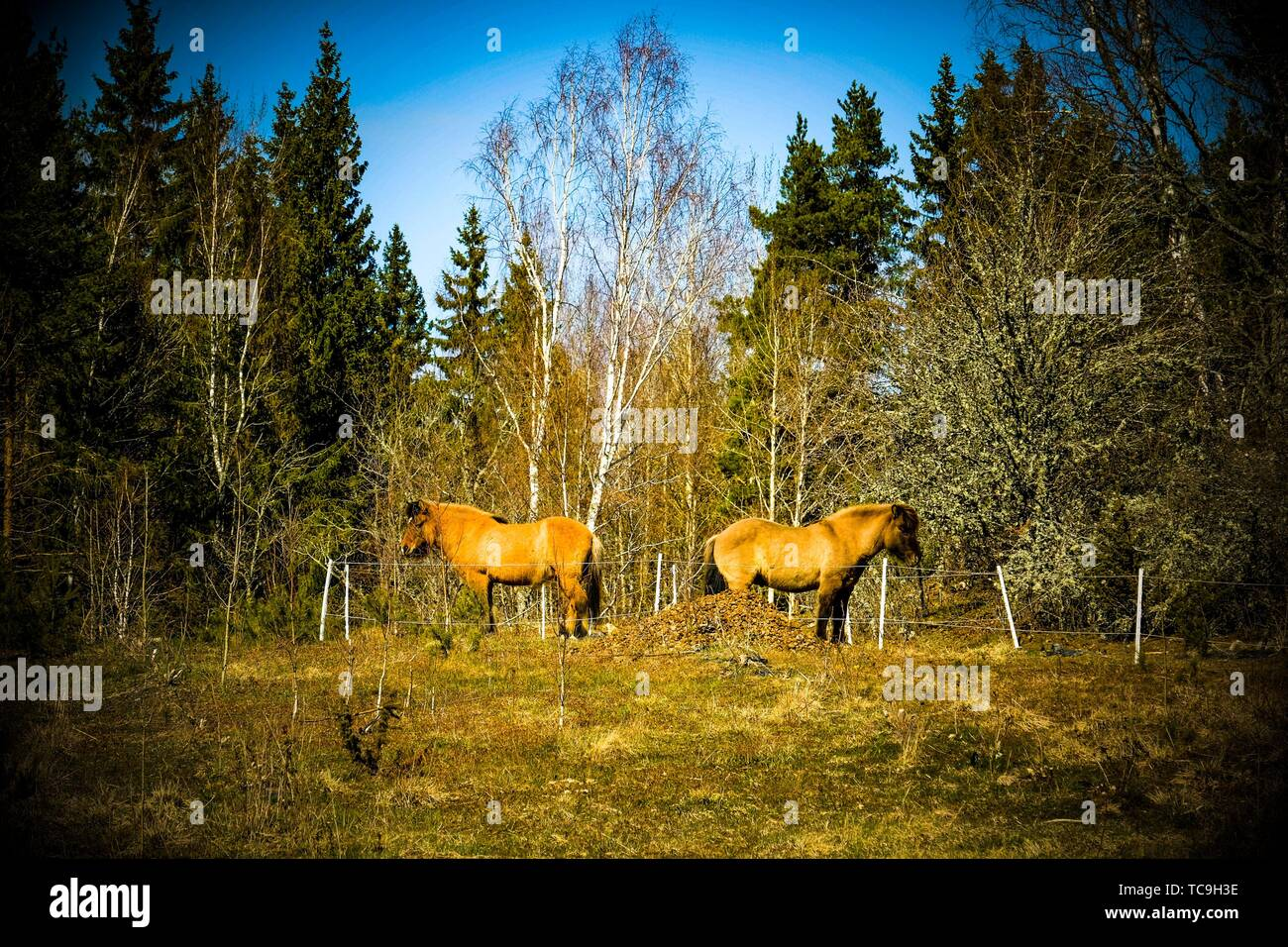 Horses in Sweden. - Stock Image