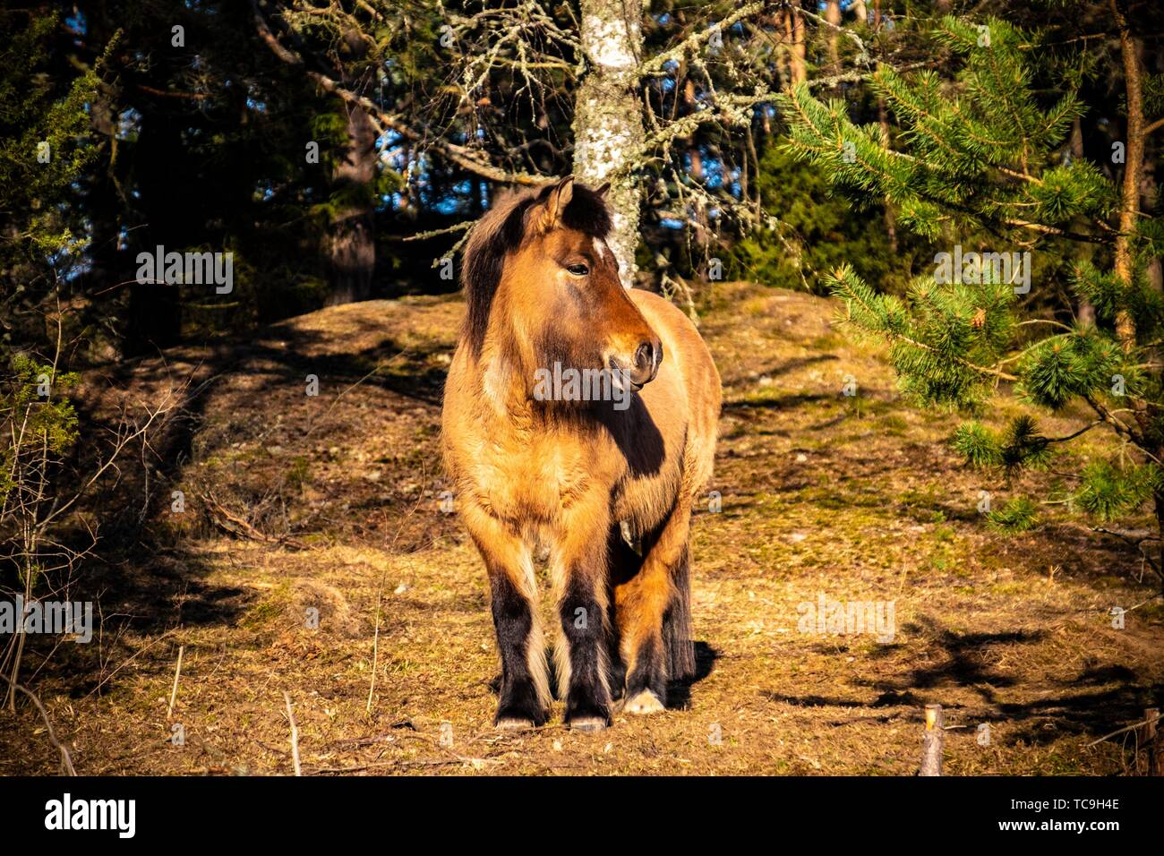 Horse in the forest in Sweden. - Stock Image
