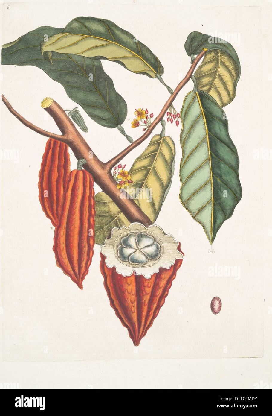 Cacao Tree Illustration High Resolution Stock Photography And Images Alamy
