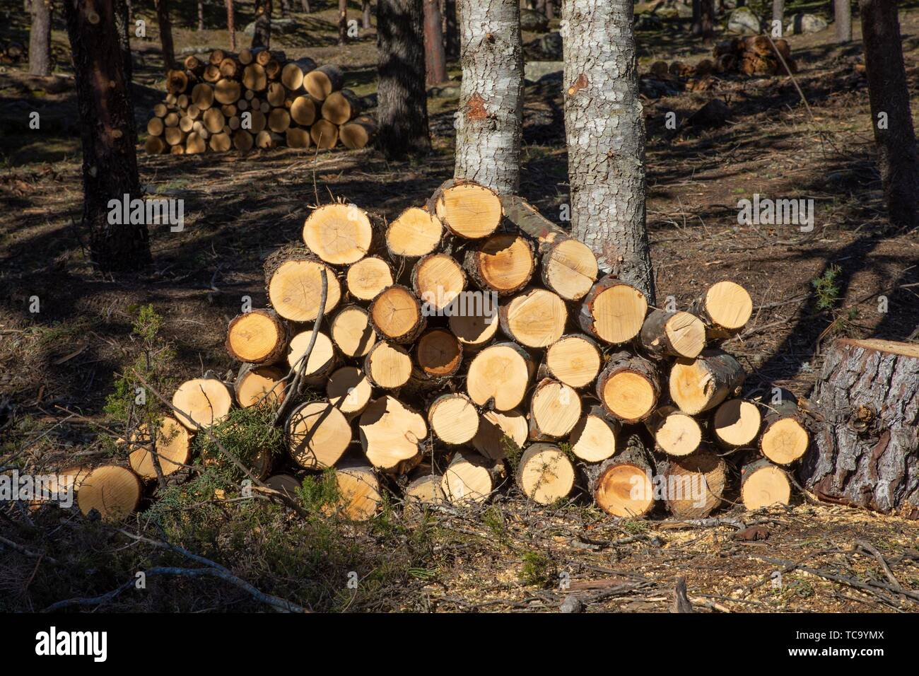 piles of wooden logs, stacked in a forest next to trunk of trees. Stock Photo