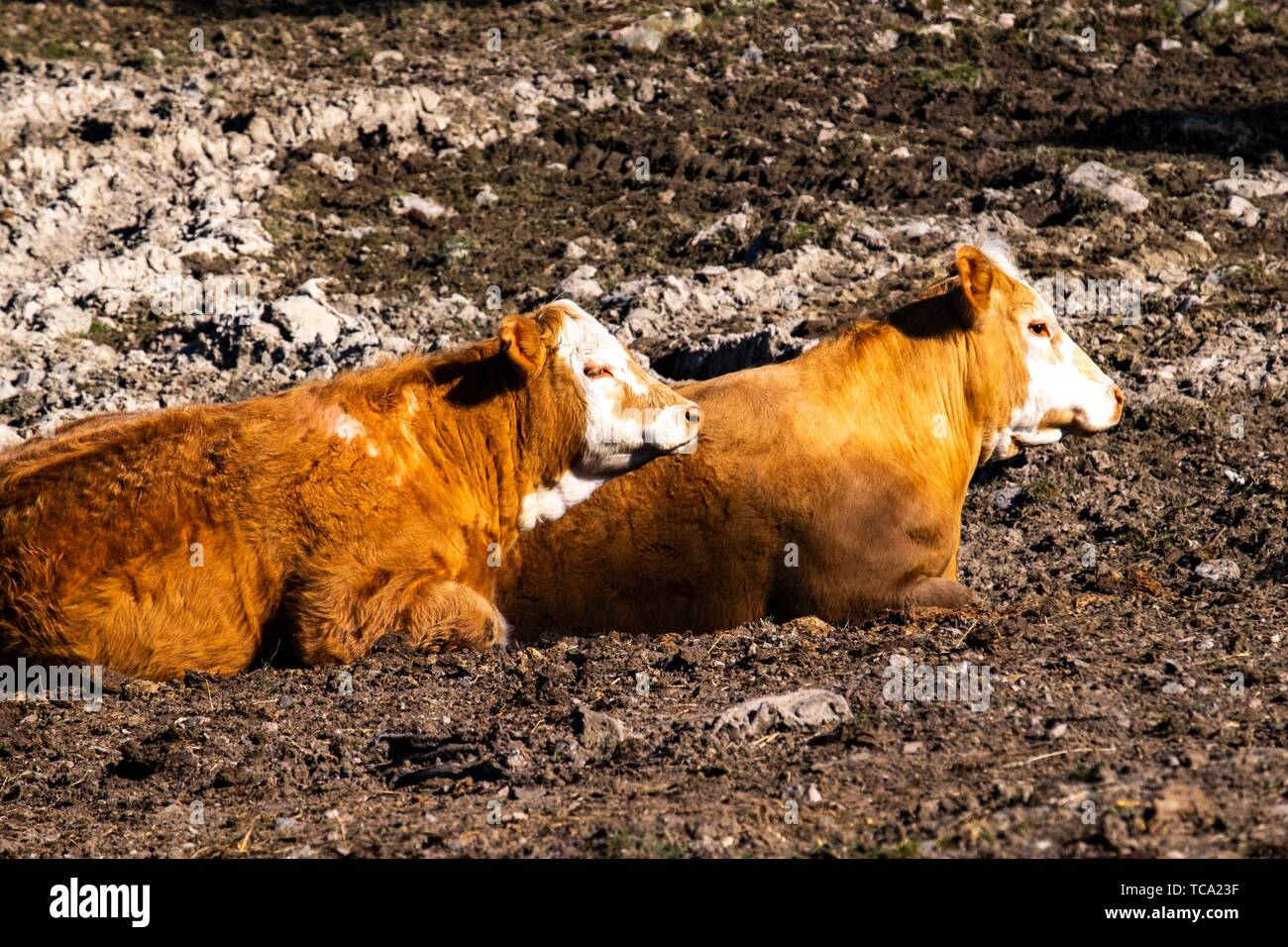 Cows in a field in Sweden. - Stock Image