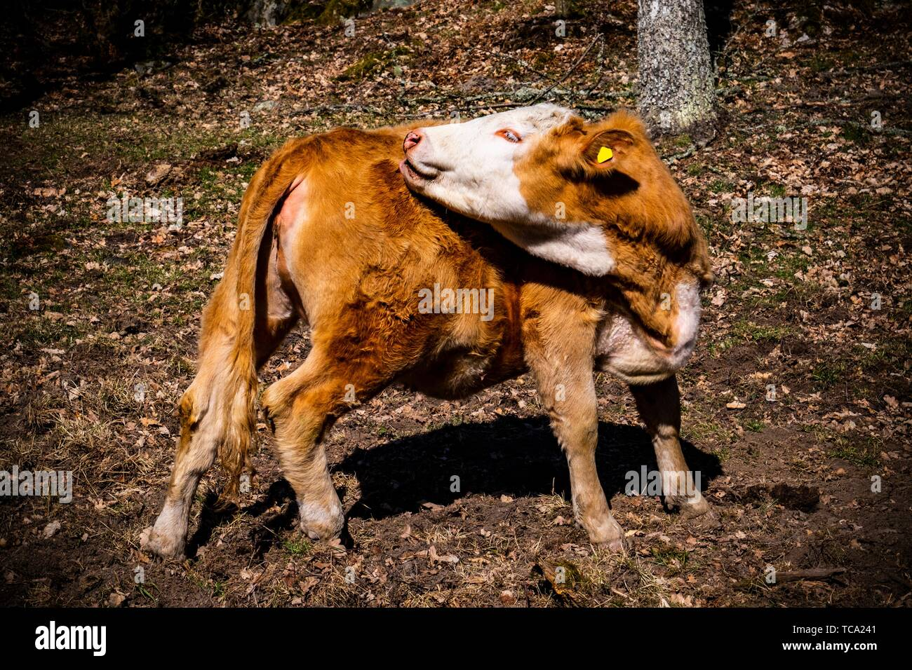 Young calf in the forest of Sweden. - Stock Image