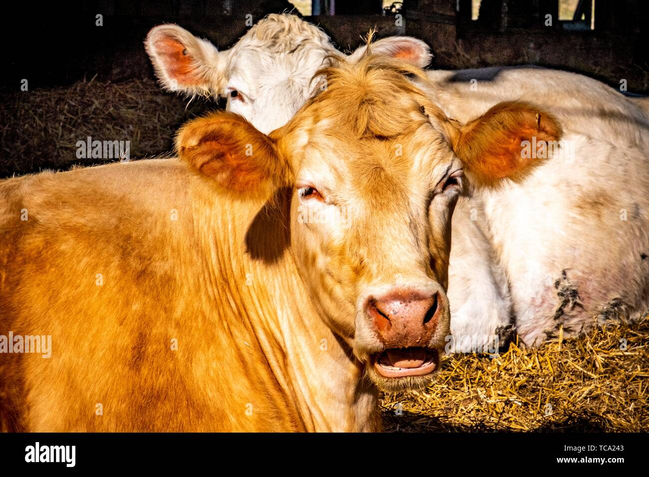 Cows resting in a barn in Sweden. - Stock Image