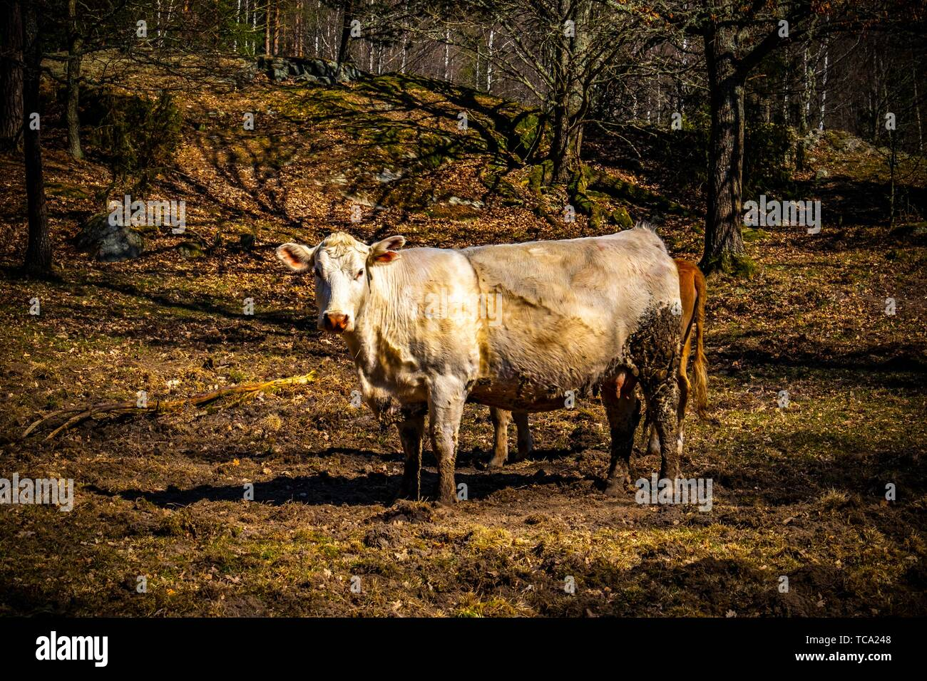 Cow grazing on a field in Sweden. - Stock Image