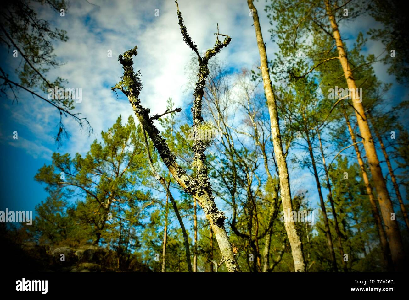 Typical forest vegetation of Sweden. - Stock Image
