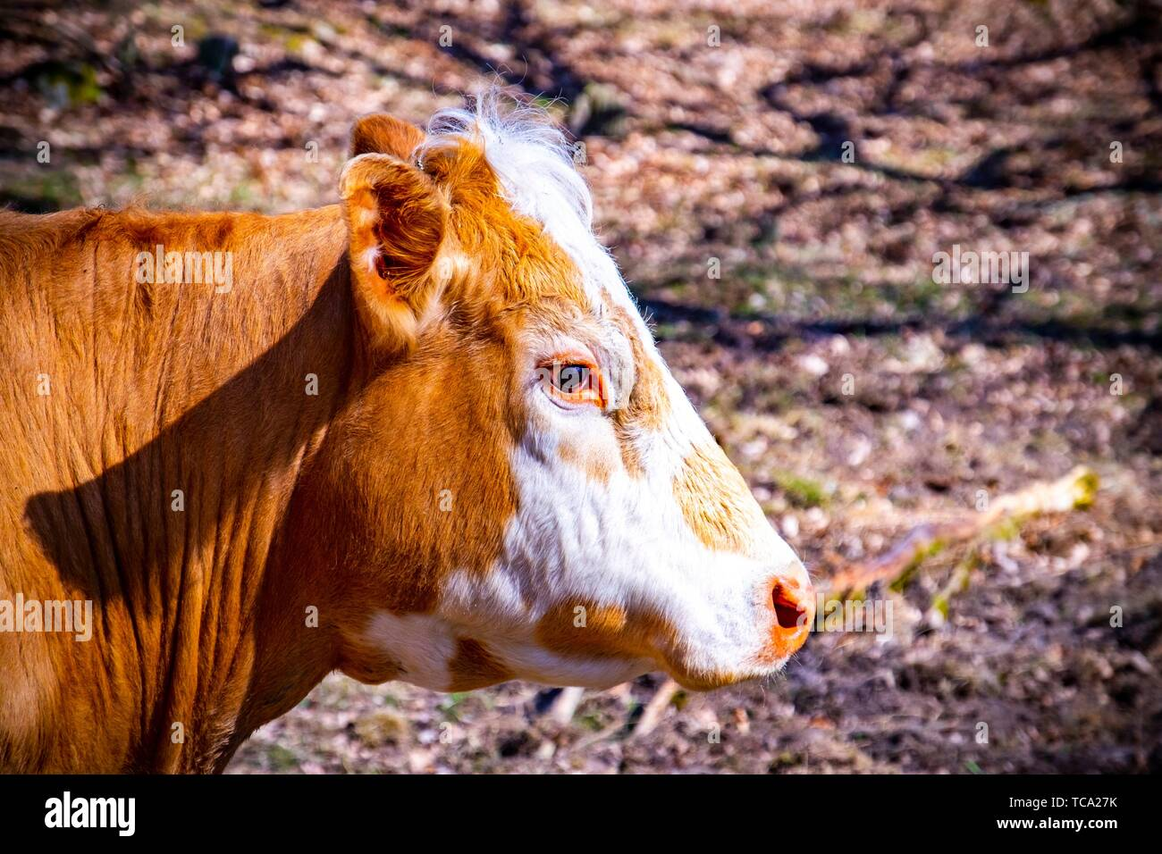 Portrait of a cow. - Stock Image