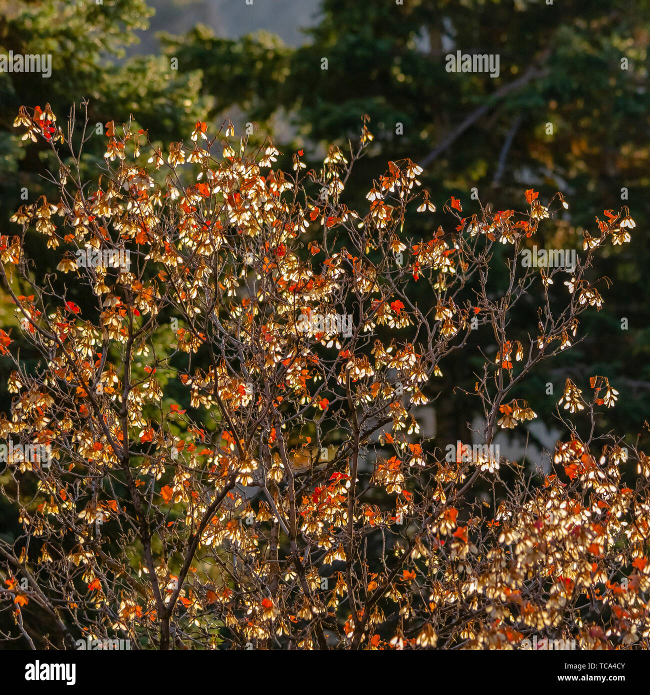Frame Square Close up of a tree with orange leaves illuminated by sunlight on a sunny day Stock Photo